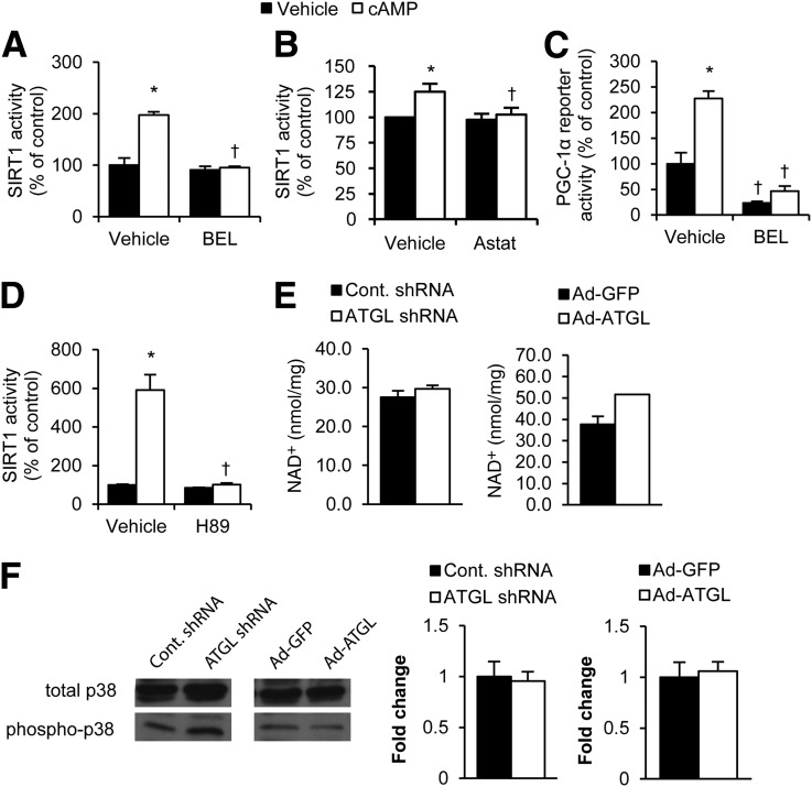 ATGL is required for the β-adrenergic induction of SIRT1 and PGC1-α activity. A and B : Inhibition of ATGL blocks cAMP induction of SIRT1 activity. Primary hepatocytes were treated with or without 1 mmol/L cAMP analog (8-bromoadenosine 3′,5′-cyclic monophosphate) for 10 min after a 1-h pretreatment with 2 μmol/L ATGL inhibitor BEL ( A ) or 30 μmol/L ATGL inhibitor Astat ( B ). SIRT1 activity was determined by fluorometric kinetic assay from hepatocyte nuclear lysates ( n = 3). C : SIRT1 activity is inhibited by a PKA inhibitor. Primary hepatocytes were treated with cAMP analog following a 1-h preincubation with 30 μmol/L H89 ( n = 3). D : Inhibition of ATGL blocks cAMP induction of PGC-1α reporter expression. PGC-1α reporter was transfected into primary hepatocytes, and reporter activity was determined by dual-luciferase reporter assay ( n = 3). E : NAD + levels in mouse liver tissue treated with indicated adenoviruses for 7 days as determined by enzyme-based NAD/NADH quantification kit ( n = 4). F : p38-MAPK phosphorylation in livers of mice with overexpressed or knocked down ATGL. Graphs reflect fold change over control in densitometry of acetylated proteins, normalized to total protein ( n = 3). * P