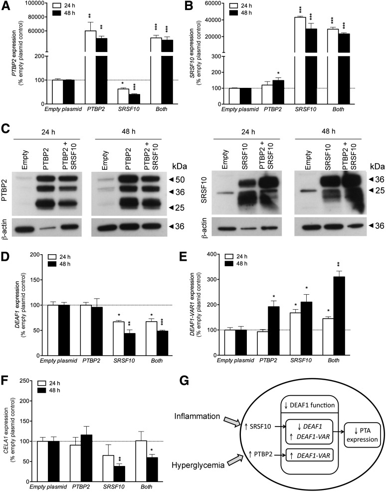 PTBP2 and SRSF10 mediate the splicing of human DEAF1 . A–F : QPCR and immunoblotting data showing transfection of HEK293T cells with plasmids expressing PTBP2 or SRSF10 , alone (1 μg each) or in combination (0.5 μg each). Transfection resulted in significantly increased mRNA ( A and B ) and protein ( C ) expression of the corresponding genes 24 and 48 h after transfection. C : The antibodies used detected multiple alternatively spliced isoforms of PTBP2 and SRSF10. The ∼57-kDa product detected by the anti-PTBP2 antibody may represent the larger PTBP2 isoforms 1, 2, 3, and/or 4 (predicted size ∼57–58 kDa), whereas the 33- and 38-kDa products may represent the smaller PTBP2 isoforms 5 and/or 6 (predicted size ∼38 kDa). The 36-kDa product detected by the anti-SRSF10 antibody may represent SRSF10 isoforms 1 and/or 2 (predicted size ∼31 kDa), whereas the 20- to 25-kDa products may represent isoforms 3, 4, and/or 5 (predicted size ∼20–22 kDa). Overexpression of SRSF10 alone or in combination with PTBP2 resulted in significantly reduced expression of canonical human DEAF1 ( D ), increased expression of DEAF1-VAR1 ( E ), and reduced expression of the PTA gene CELA1 ( F ). Overexpression of PTBP2 resulted only in the increased expression of DEAF1-VAR1 48 h after transfection ( E ). G : A schematic diagram showing how inflammation and hyperglycemia may contribute to reduced DEAF1 function and reduced PTA expression in LNSCs during the progression of disease. Data shown in A , B , and D–F represent the means ± SEM of at least 3 independent experiments performed in triplicate. C shows data that are representative of 4 separate experiments. All QPCR data were normalized to 18S rRNA expression. Statistical analysis was performed using the two-tailed unpaired Student t test. * P