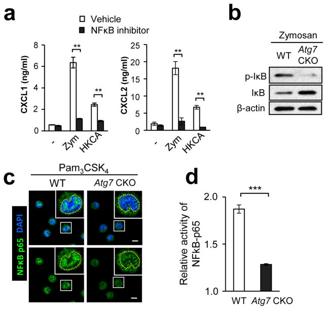Autophagy enhances <t>NFκB</t> activation in F4/80 hi macrophages (a) Production of CXCL1 and CXCL2 by F4/80 lo and F4/80 hi peritoneal macrophages. Cells were stimulated with zymosan (100 μg/ml) or (HKCA; 5×10 5 spores/ml) for 24 hrs with or without an NFκB inhibitor, QNZ. Culture supernatants were analyzed by ELISA. n=3. ( b ) Western blotting analysis of p-IκB and total IκB in F4/80 hi peritoneal macrophages stimulated with zymosan (100 μg/ml) for 30 min. ( c ) Translocation of NFκB <t>p65</t> (green) to the nucleus (DAPI, blue) in F4/80 hi peritoneal macrophages stimulated with Pam 3 CSK 4 (100 ng/ml) for 30 min. NFκB localization was analyzed by confocal microscopy. Yellow broken lines in enlarged photos indicate borders of the nucleus. Shown are representative images from at least 50 cells. Scale bars indicate 5 μm. ( d ) Relative activity of NFκB in WT and Atg7 CKO F4/80 hi peritoneal macrophages was evaluated. Cells were stimulated with zymosan (100 μg/ml) for 30 min, and p62 binding to a target NF-κB response element in <t>DNA</t> was evaluated by colorimetric reading. Values were calculated as a fold increase of O.D. values of stimulated cells from those of unstimulated cells. n=3. Data are representative of two independent experiments. Error bars represent mean ± SD. ANOVA and Student's t -test were used for statistical analysis of (a) and (d), respectively. N.S.; not significant. ***; p