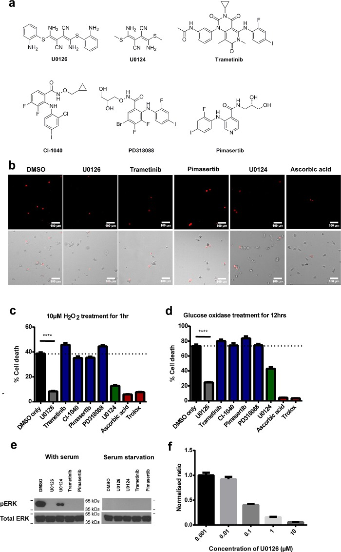 U0126 protects PC12 cells against H 2 O 2 -induced cell death. (a) Chemical structures of U0126, its inactive analogue U0124, and other MEK inhibitors used in the study: trametinib, CI-1040, PD318088, and pimasertib. (b) Representative images of H 2 O 2 -induced dead cells stained by propidium iodide. These are accompanied by bright field images that show all cells. Scale bar = 100 μm. (c) U0126 treatment shows reduced cell death compared with DMSO ( p