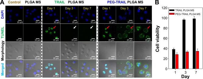 CLSM images of Mia Paca-2 cells. Notes: ( A ) CLSM images of untreated control Mia Paca-2 cells, and Mia Paca-2 cells treated with empty PLGA MSs, TRAIL, or PEG-TRAIL supernatants released from PLGA MSs at days 1, 3, and 5 (nuclei are stained blue and apoptotic cells green; original magnifications: ×400). Red arrows indicate late apoptosis manifestation. White arrows indicate no or negligible apoptosis. ( B ) Cell viability profiles of Mia Paca-2 cells treated with released TRAIL or PEG-TRAIL. Abbreviations: CLSM, confocal laser scanning microscopy; PLGA MS, poly(lactic- co -glycolic acid) microsphere; TRAIL, TNF-related apoptosis-inducing ligand; PEG-TRAIL, PEGylated TNF-related apoptosis-inducing ligand; TNF, tumor necrosis factor; PEG, polyethylene glycol; <t>TUNEL,</t> terminal <t>deoxynucleotidyl</t> transferase <t>(TdT)-mediated</t> <t>dUTP</t> nick end labeling; dUTP, deoxyuridine 5′-triphosphate; DAPI, 4′,6-diamidino-2-phenylindole.