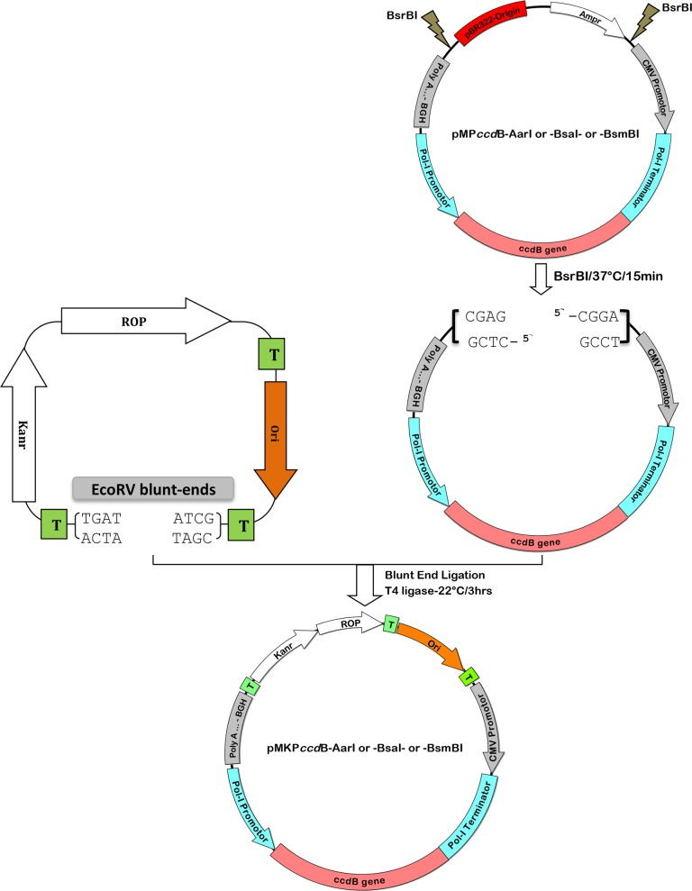 Construction strategy of the low-copy pMKP ccd B reverse genetic vector to clone unstable HA segments of IAV. The resulting vector is a hybrid of pSMART-LC-Kan and the Pol-I/ ccd B/Pol-II cassette of pMP ccd B with either AarI or Bsa I or BsmB I sites for restriction/cloning of the desired insert. Briefly, the sequence representing the Pol-I/ ccd B/Pol-II cassette excised from pMP ccd B by digestion with <t>BsrB</t> I were blunt end phosphorylated, and ligated into the EcoR V linearized pSMART-LC-Kan plasmid to generate pMKP ccd B. The pMKP ccd B was suitable to clone and maintain the genetically unstable RT-PCR product of H9N2/SA- and H5N1/VSVRI-HA. Transcriptional terminator (T); Repressor of Primer (ROP); low copy origin of replication (Ori); kanamycin resistance gene (Kanr), ampicillin resistance gene (Ampr).