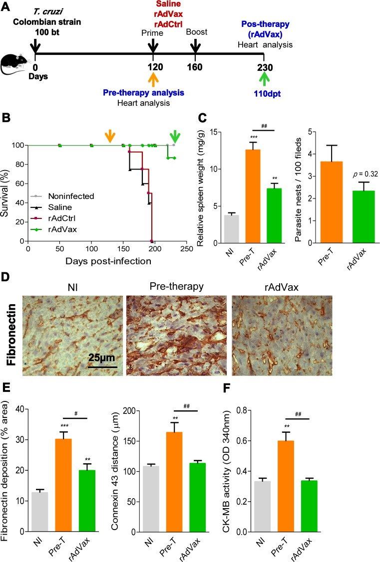 rAdVax immunotherapy recovered the injured heart tissue of chronically T. cruzi -infected mice. ( A ) Chronically Colombian T. cruzi strain-infected mice were evaluated for heart injury markers pre-therapy (120 dpi) or primed-boosted with 2 × 10 8 plaque-forming units (PFU) of rAdCtrl or a mixture of 10 8 PFU of each adenovirus vaccine preparation (rAdASP2+rAdTS; rAdVax). Mortality was recorded until 230 dpi (110 days post-therapy; dpt), when the surviving mice were analyzed for heart injury markers. ( B ) Kaplan-Meier curve representing the percentages of surviving mice (14–20 mice/group in two independent experiments). ( C ) Relative spleen weight (mg of spleen/g of body) and quantitative immunohistochemical staining (IHS) data for T. cruzi parasitism (nests/100 microscopic fields) in the heart tissue of chronically infected mice (120 and 230 dpi, respectively, pre- and post-therapy). ( D ) IHS showing fibronectin (FN)-stained areas in representative cardiac tissue sections of noninfected (NI) controls and chronically T. cruzi -infected mice pre- (120 dpi) and post-therapy (230 dpi; 110 dpt) with rAdVax. ( E ) Quantification of the FN-stained area (%) and connexin 43 (Cx43)-containing gap junction distances detected using IHS staining of heart tissue sections of NI controls or T. cruzi -infected mice pre- and post-therapy with rAdVax. ( F ) Evaluation of CK-MB activity in the serum of NI controls and T. cruzi -infected mice pre- and post-therapy with rAdVax. The data are presented as the means ± SD. ** P