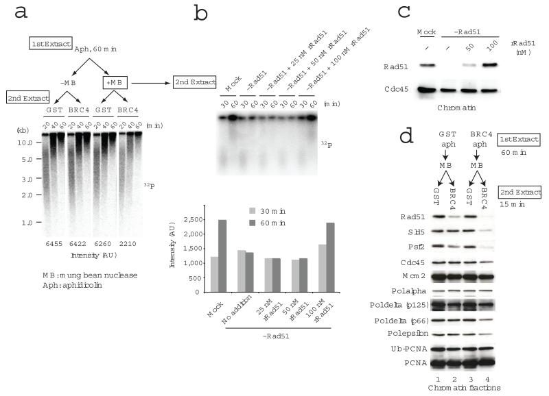 RAD51 is required for origin independent fork restart and reloading of replisome components after fork collapse. In ( a ) and ( b ) replication fork restart was monitored following incubation of sperm nuclei in the 1 st extract for 60 min with or without 10 μg/ml aphidicolin and then transferring nuclear fractions that were untreated or briefly incubated with Mung bean nuclease to a 2 nd extract containing 320 nM geminin, 1 mM roscovitine and GST or GST-BRC4 ( a ), or to mock or RAD51-depleted extracts containing 25, 50, 100 nM recombinant RAD51 ( b ). Replication products were monitored by incorporation of 32 P-dATP added to the 2 nd extract and resolved by alkaline ( a ) or neutral agarose gel ( b ) and subjected to autoradiography. Quantification of signals is shown at the bottom of the gel in ( a ) and in the graph ( b ). In ( c ) chromatin binding of RAD51 and CDC45 was monitored in egg extracts that were mock or RAD51 depleted and supplemented with the indicated amount of recombinant RAD51 (rRAD51). The status of replication fork proteins bound to chromatin isolated from extracts treated as in ( a ) is shown in ( d ).