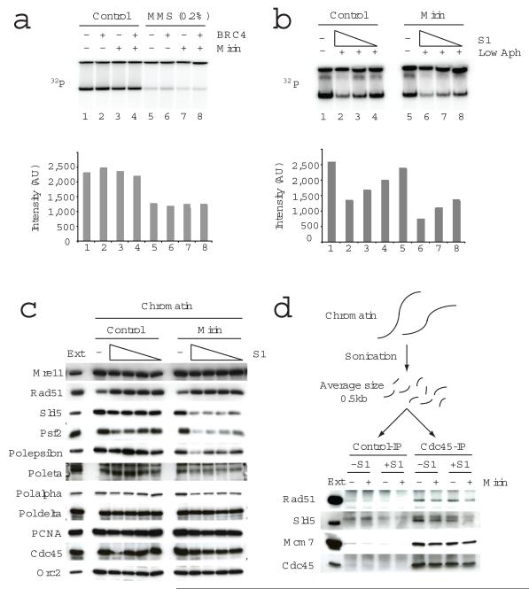 MRE11 nuclease activity is required for DNA replication upon fork collapse. In ( a ) and ( b ) the effects of MRE11 nuclease inhibitor mirin on replication of sperm nuclei that were untreated or treated with MMS in the presence or absence of GST-BRC4 ( a ) or on sperm nuclei incubated in extracts treated with 0, 0.73, 0.37, 0.18 U μl −1 S1 nuclease and aphidicolin were monitored ( b ). Replication products were monitored by 32 P-dATP incorporation and resolved by neutral agarose gels, which were subjected to autoradiography. Signal intensities were reported in the graphs. In ( c ) the effect of mirin on replication proteins bound to chromatin isolated after 50 min incubation in extracts treated with 0, 1.46, 0.73, 0.37 and 0.18 U μl −1 S1 nuclease was analysed. In ( d ) the binding of the indicated fork proteins to chromatin incubated for 45 min in egg extracts that were untreated or supplemented with 0.73 U μl −1 S1 nuclease and mirin was monitored following protein crosslinking, sonication induced DNA fragmentation and immunoprecipitation with control and anti-CDC45 serum. * non-specific band. Ext: 0.5 μl egg extract was loaded as a control in ( c ) and ( d ).