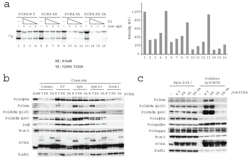 The role of PCNA in DNA replication and chromatin association of replication proteins upon fork collapse. In ( a ) replication of sperm nuclei incubated in extracts for 80 min in the presence of 1 μg ml −1 aphidicolin and 0, 0.73, 0.37, 0.18 U μl −1 S1 nuclease and PCNA wild type (WT), PCNA K164R (KR), PCNA Y249A Y250A (YA) or PCNA K164R Y249A Y250A (KR YA) recombinant proteins. Replication products were resolved by neutral agarose gel and subjected to autoradiography (left). Signal intensities were quantified and reported in the graph (right). ( b ) Binding to chromatin of the indicated proteins was monitored by immunoblotting of chromatin treated with 200 J m −2 UV or incubated in extracts treated with 1 μg ml −1 aphidicolin, 0.97 U μl −1 S1 nuclease or 0.1 U μl −1 EcoR1 and recombinant PCNA wild type (WT), PCNA K164R (KR) or PCNA Y249A Y250A (YA) as indicated. 0.5 μl egg extract was loaded as a control (Ext). ( c ) The interaction of PCNA and replication proteins in egg extract was monitored by incubation of His-tagged wild type and mutant PCNA proteins followed by pull down with Ni-NTA sepharose. The interacting proteins were detected by immunoblotting as indicated.