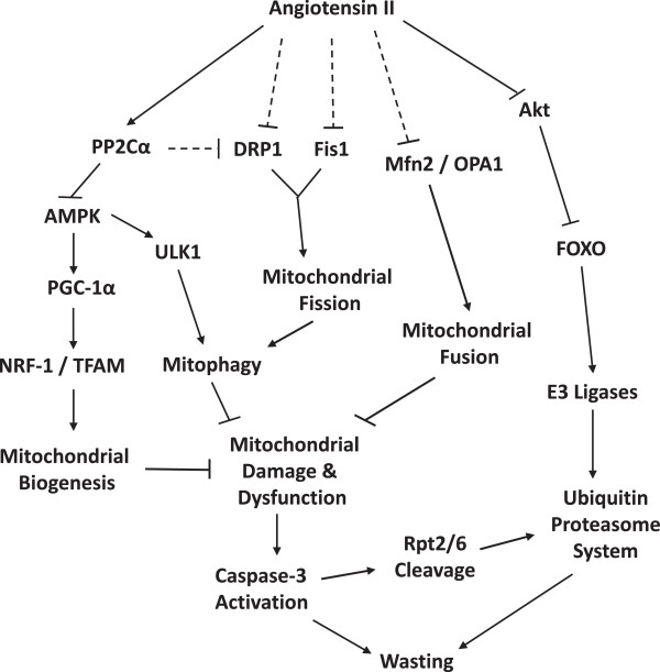 Proposed model whereby AngII infusion leads to mitochondrial dysfunction and skeletal muscle wasting. Parallel to the well-characterized AngII-mediated activation of the FOXO-E3-UPS axis via inhibition of Akt, AngII also induces expression of the phosphatase PP2Cα, which dephosphorylates and inactivates AMPK. This leads to reduced <t>PGC-1α,</t> NRF1, and TFAM expression (less mitochondrial biogenesis), and reduced ULK1 activity. The AngII-mediated reduction in ULK1 activation inhibits a critical early step in the autophagy pathway and prevents recycling of damaged mitochondria (mitophagy). AngII also inhibits both mitochondrial fission and fusion through predominately AMPK-independent pathways, which likely contribute to mitochondrial dysfunction caused by elevated AngII. Prolonged mitochondrial dysfunction and energy depletion ultimately leads to release of caspase-3, initiation of apoptosis, and wasting.