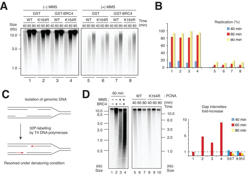 Rad51 and PCNA modifications in DNA replication and ssDNA gap accumulation. (A) Rad51 and PCNA requirement for replication of untreated and MMS-treated DNA. Sperm nuclei were incubated in 10 μl egg extract with α 32 P-dATP for the indicated times in the presence or absence of 0.7 mg ml −1 GST or GST-BRC4 and MMS (− or +), and 0.2 mg ml −1 of recombinant wild type PCNA (WT) or mutated PCNA (K164R). Replication products were resolved on 1% (w/v) alkaline agarose gel and subjected to autoradiography. (B) The signal intensities obtained in (A) were quantified and reported on the graph. The experiments shown represent a typical result. (C) Gap labelling procedure using T4 DNA polymerase. Replicating genomic DNA was isolated and used as a template for gap-filling assay using T4 DNA polymerase. The labelled nascent molecules extended by T4 were then resolved on alkaline agarose gel. (D) Untreated (−MMS) and MMS treated (+MMS) sperm nuclei were incubated in 10 μl of egg extract in the presence of GST or GST-BRC4 for 60 min (1–4). Untreated sperm nuclei were incubated for 40, 60 or 80 min in the presence of PCNA-WT or PCNA-K164R (5–10). Genomic DNA was isolated and subjected to the gap labelling reaction followed by autoradiography. Exposure times are equivalent for the 2 gels although kinetic profile starts at 40 minutes in 5–10. The graph shows the relative fold increase in optical density measured for each lane taking as reference untreated chromatin recovered at 60 minutes. The experiment shows a typical result.