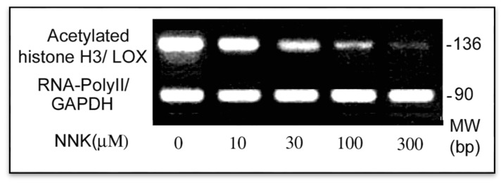 Inactivation of the LOX core promoter in NNK treated cells. ChIP and PCR assays were performed to elucidate the active status of the LOX core promoter in treated cells by assessing acetylated histone H3 binding to the core promoter region. DNAs were isolated from control and NNK treated cells each with 2 × 10 6 , sonicated and immunoprecipitated with an antibody against acetylated histone H3 or RNA-PolyII. Using immunoprecipitated DNA as a template, the PCR with primer pairs as shown under Methods amplified the acetylated histone H3-bound LOX core promoter region with 136 bp, and the RNA-Poly II bound fragment of the GAPDH promoter (an internal control) with 90 bp, respectively. PCR products were analyzed on 2.2% agarose gels and densities of DNA bands measured by the 1D Scan software.