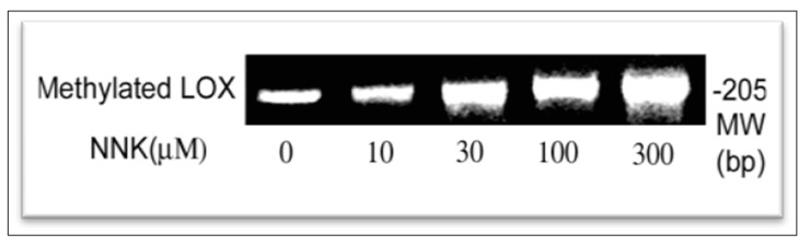 Enhancement of methylation at the LOX promoter region in NNK-treated cells as determined by using the methylation promoter PCR kit. The same amount of genomic DNA isolated from control and NNK-treated cells were digested with restriction enzyme Mse I, then incubated with MBP to form a protein/DNA complex. Methylated DNA was isolated using a separation column and amplified by PCR. PCR products as a 205 bp DNA were analyzed on 2.2% agarose gels and densities of DNA bands measured by the 1D Scan software. One typical gel among three repeated experiments is presented.