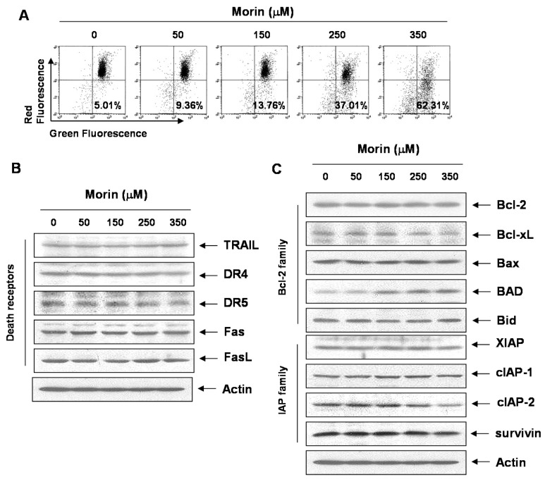 The effects of morin on mitochondrial membrane potential ( ΔΨ m ), and Bcl-2 family members in U937 cells. ( A ) Morin induced Loss of MMP ( ΔΨ m ) in a dose-dependent manner. The cells were stained with JC-1 and incubated at 37 °C for 30 min. The mean JC-1 fluorescence intensity was assessed by a flow cytometer; ( B , C ) The effects of morin on the expression of ( B ) death receptors ( C ) Bcl-2 and IAP family members in U937 cells. The results are from one representative of two independent experiments that showed similar patterns. The expression of the indicated proteins were measured by densitometry and expressed as average relative ratio compared to actin, from two or three different experiments.