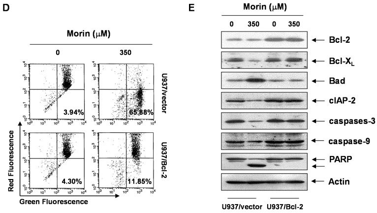 Effects of Bcl-2 overexpression on morin-induced apoptosis. U937/vector or U937/Bcl-2 cells were treated with morin for 48 h, and effects of Bcl-2 overexpression on morin-induced apoptosis. ( A ) MTT assay. The data are shown as means ± SD of three independent experiments. * p