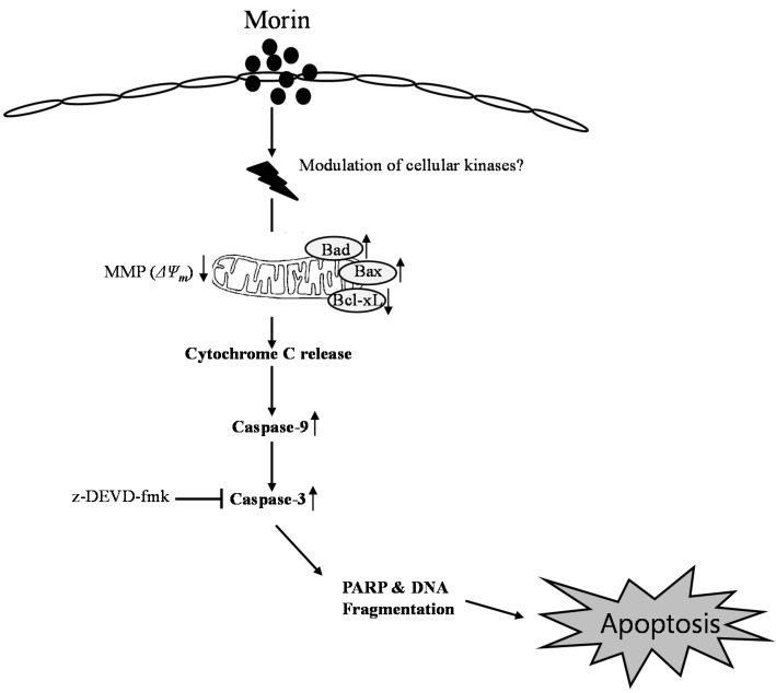 Proposed model of morin mechanism of action for apoptosis in U937 human leukemic cells. Morin induced caspase-dependent apoptosis; induced loss of MMP ( ΔΨ m ) along with cytochrome c release, downregulated Bcl-2 protein, and upregulated BAX proteins. It activates caspase-3 and caspase-9, and subsequent cleavage of PARP. In addition, caspase-3, z-DEVD-fmk reduced morin-induced cell death. Taken together, this study suggests that morin induces caspase-dependent apoptosis through an intrinsic pathway by modulating Bcl-2 family members, BAD and Bcl-xL, which regulates the apoptotic effect of morin in human leukemic cells.