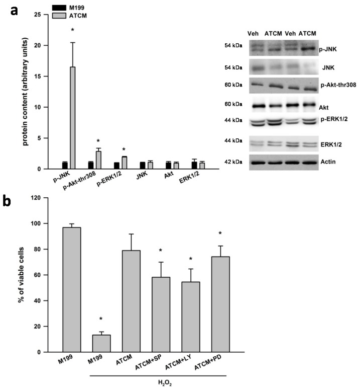 <t>ERK1/2,</t> JNK and PI3K are involved in the protective effects of lean ATCM against H 2 O 2 induced neurotoxicity. ( a ) Adipose tissue conditioned media (ATCM) from lean subjects was applied to SH-SY5Y neuronal cells for 1 h and the phosphorylation of JNK, Akt at threonine 308, and ERK1/2 was measured by western blotting. Phosphorylated signaling proteins are expressed relative to respective total protein and the ATCM condition was compared to vehicle (veh) treated well and ( b ) Adipose tissue conditioned media (ATCM) from lean subjects was applied to SH-SY5Y neuronal cells for 24 h in the presence of 800 µM H 2 O 2 . Chemical inhibition of JNK with SP600125 (5 µM), PI3-K with LY29400 (20 µM) and ERK with PD98059 (25 µM) partially inhibited the neuroprotective effects of ATCM in SH-SY5Y cells under oxidative stress conditions. Representative western blots are shown to the right of the quantified data in panel A. All cell culture experiments were repeated on two separate passages of cells with ATCM from three different subjects ( n = 6). * p