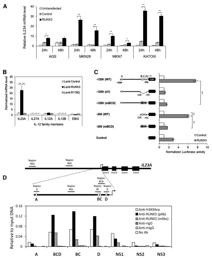 IL23A Is Transcriptionally Regulated by RUNX3 in Gastric Epithelial Cells (A) IL23A mRNA expression was induced by exogenous RUNX3 in multiple RUNX3-negative gastric cancer cell lines. GFP-positive transfected cells were enriched by FACS at 24 hr and 48 hr posttransfection and analyzed by qRT-PCR. Normalized IL23A levels are expressed relative to untransfected control values. (B) RUNX3 specifically induced IL23A in gastric epithelial cells. AGS cells transduced with the indicated viruses were analyzed by qRT-PCR for the expression of the IL-12 family of cytokine genes. Normalized data are presented relative to the Lenti-control sample (mean ± SEM; n = 3) (u.d., undetected). (C) RUNX3 mediates its effect through the proximal RUNX sites B, C, and D of the IL23A promoter. Mutation and deletion variants of the IL23A-1200 reporter construct were transiently transfected into KATOIII cells together with either control or RUNX3 expression vectors. Normalized luciferase activities are expressed relative to the values of control samples for each construct. Data presented are derived from independent biological triplicates (mean ± SEM). (D) Physical occupancy of RUNX3 on the IL23A promoter in Lenti-RUNX3-transduced AGS cells was detected by ChIP analysis using polyclonal or monoclonal RUNX3-specific antibodies. Enrichment of the indicated genomic fragments was detected by qPCR ( Table S1 ) and expressed relative to input DNA. Nonspecific immunoglobulin G from rabbit (rIgG) and mouse (mIgG) served as negative controls; H3K9Ace antibody was used as a positive control. NS, nonspecific region; pAb, polyclonal antibody; mAbs, monoclonal antibodies. *p