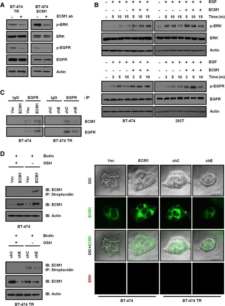 Extracellular matrix protein 1 augments epidermal growth factor signaling. (A) At 24 hours after seeding, BT-474 trastuzumab-resistant (TR) and BT-474 extracellular matrix protein 1 (ECM1)-expressing cells were treated with anti-ECM1 antibodies (ab; 5 μg/ml). Ten minutes later, cell lysates were analyzed on Western blots. (B) After serum starvation for 24 hours, cells were treated with recombinant human extracellular matrix protein 1 (rhECM1; 200 ng/ml) and epidermal growth factor (EGF; 10 ng/ml). Cell lysates were prepared at the indicated time points and analyzed on Western blots. (C) Total cell lysates were incubated with epidermal growth factor receptor (EGFR) antibodies overnight, and immunoprecipitates (IP) were analyzed on Western blots. IgG, Immunoglobulin G; shC, Control short-hairpin RNA; shE, Extracellular matrix protein 1; Vec, Vector. (D) Cells were incubated with 0.5 mg/ml EZ-Link NHS-SS-Biotin for 30 minutes at 4°C. The biotinylated proteins were precipitated by streptavidin, and the precipitates were analyzed on Western blots (IB) using ECM1 antibody (left). Cell surface labeling of ECM1 was conducted by immunostaining without permeabilization (right). Extracellular signal-regulated kinase (ERK) was used as an endogenous negative control protein. DIC, Differential Interference Contrast; GSH, Glutathione.