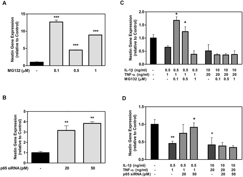 The effect of MG132 protease inhibitor and p65 siRNA on Nestin gene expression in DPSCs with low- and high-cytokine doses. DPSCs were exposed to various MG132 or p65 siRNA concentrations (A and B, respectively) and cytokines in the presence of MG132 or p65 siRNA (C and D, respectively) for 7 days. Nestin mRNA was assayed using qRT-PCR. Data are presented as the mean ± S. E. M. of triplicate measures from triplicate experiments. Symbols: Asterisks (*) indicate statistical comparison with control result; plus signs (+) indicate statistical comparison with IL-1β (0.5 ng/ml) and TNFα (1.0 ng/ml) treatment (low cytokine dose); triangle (Δ) indicates statistical comparison with IL-1β (10.0 ng/ml) and TNFα (20.0 ng/ml) treatment (high cytokine dose). Statistical comparison was made using ANOVA testing with Dunnett's posthoc analysis. Statistical significance was represented by *, +, or Δ for p