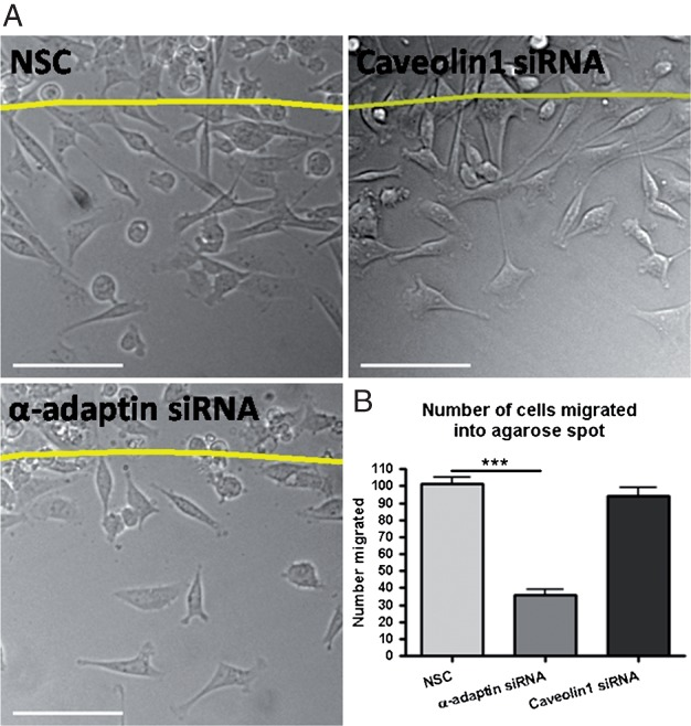 siRNA silencing of <t>α-adaptin</t> inhibits MDA-MB-231 migration into EGF spots. A) Representative images treated with control siRNA, α-adaptin siRNA and caveolin1 siRNA after 14 h migration into an agarose spot containing EGF. Scale bars are 100 µm. B) Quantification of total number of cells migrated under siRNA conditions. Line denotes edge of the agarose spot. n = 22 fields of view per treatment. NSC = non-silencing control siRNA.