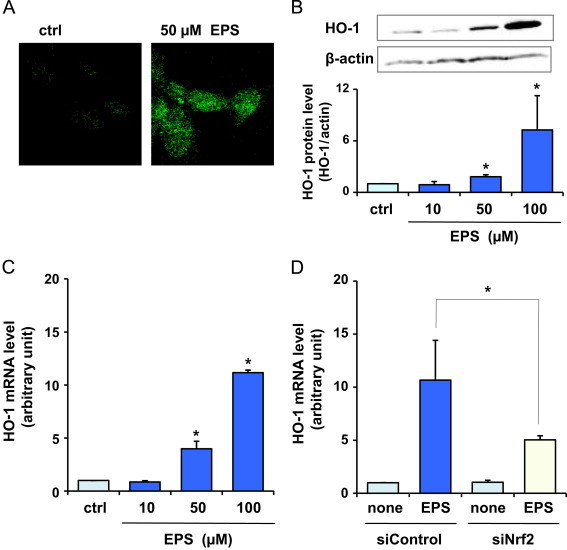 Effect of EPS on HO-1 in BAECs. BAECs were treated with EPS at the indicated concentrations for 24 h. HO-1 protein levels estimated by fluorescence microscopy studies (A) and by Western blot analysis (B). (C) HO-1 mRNA levels. Values in (B) and (C) are means±SD of three experiments. *Significant difference from the value of control ( P