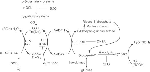 The pathways involving glucose and hydroperoxide metabolism believed to be involved with protection of cancer cells from metabolic oxidative stress (inhibitors of Trx and GSH metabolism are shown in italics). 2DG competes with glucose for uptake into the cells competitively inhibiting pyruvate production and the pentose cycle after glucose-6-phosphate-dehydrogenase (G6PD). DHEA inhibits G6PD. The GSH and Trx dependent systems participate in the detoxification of H 2 O 2 and organic hydroperoxides. NADPH is a source of reducing equivalents for the Trx/GSH-dependent systems. BSO inhibits glutamate cysteine ligase (γ-GCL) preventing glutathione synthesis. Auranofin is the inhibitor of thioredoxin reductase (TrxR), which reduces the oxidized Trx to the reduced form. These inhibitors were used alone and in combination to increase the cancer cell oxidative stress, resulting in cancer cell cytotoxicity.