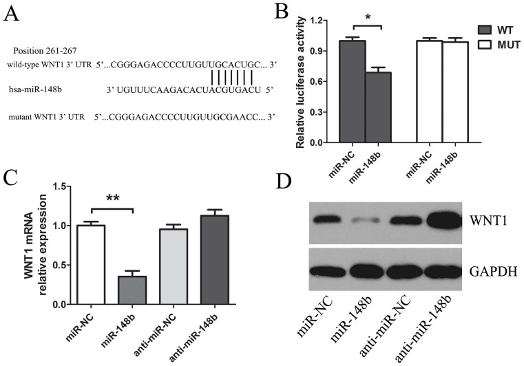 WNT1 was the direct target of miR-148b in HCC cells. (A. Top) Human WNT1 3′UTR fragment containing wild-type or mutated miR-148b–binding sequence. (WT: wild type; MUT: mutant type). (A. Bottom) MiR-148b and its putative binding site in the 3′UTR of WNT1. (B) Luciferase reporter assays, with co-transfection of wild-type or mutant 3′UTR (100 ng) and miR-148b or miR-NC (50 nM) in HepG2 cells as indicated. Firefly luciferase activity was normalized by Renilla luciferase activity. After transfection with miR-148b or anti-miR-148b (50 nM) for 48 h, qRT-PCR (C) and western blot (D) were used for monitoring WNT1 expression in HepG2 cells. *P