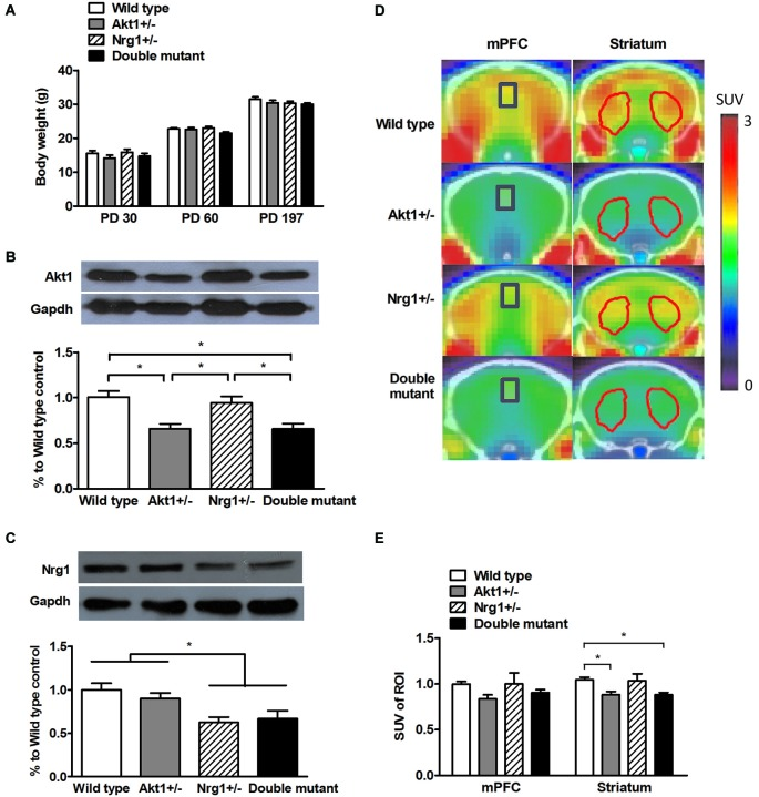 General features of wild-type (WT), Akt1 +/− , Nrg1 +/− , and double mutant mice in Experiment 1. (A) Physical growth at postnatal day (PD) 30, 60, and 197. (B) Expression of Akt1 protein levels in the cerebral cortices of the 4 groups of mice. A ~30–40% reduction of Akt1 protein was found in both Akt1 +/− and double mutant mice. (C) The expression of Nrg1 protein level in the cerebral cortices of the 4 groups of mice. A ~40–45% reduction of Nrg1 protein was found in both Nrg1 +/− and double mutant mice. (D) Representative PET-CT fusion images of coronal slices of the 4 groups of mice using microPET with 18 F-FDG. The medial prefrontal cortices (mPFC, Bregma 1.96 mm) are highlighted in blue rectangles, and the striatums (Bregma 0.5 mm) are highlighted in red polygons. (E) The normalized and averaged standardized uptake values (SUV) in the brain regions of interest (ROI, including the mPFC and striatum) among the 4 groups. The ratio was calculated as SUV target ROI (FDG) /SUV cerebellum (FDG) . * p
