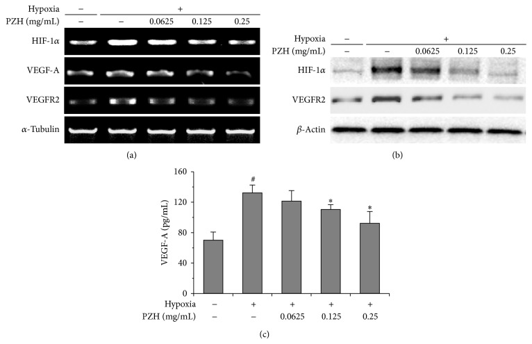 Effects of PZH on HIF-1 α , VEGF-A, and VEGFR2 expression in HUVECs. (a) mRNA expression levels of HIF-1 α were analyzed by RT-PCR, and α -tubulin was used as a loading control. (b) Protein expression levels of HIF-1 α and VEGFR2 were analyzed by Western blot, and β -actin was used as a loading control. (c) Secreted VEGF protein was analyzed by ELISA. # A significant difference compared with normoxic control ( P