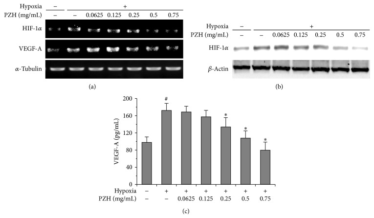 Effects of PZH on the expression of HIF-1 α and VEGF-A in HCT-8. (a) mRNA expression levels of HIF-1 α were analyzed by RT-PCR, and α -tubulin was used as a loading control. (b) Protein expression levels of HIF-1 α were analyzed by Western blot, and β -actin was used as a loading control. (c) Secreted VEGF protein was analyzed by ELISA. # A significant difference compared with normoxic control ( P