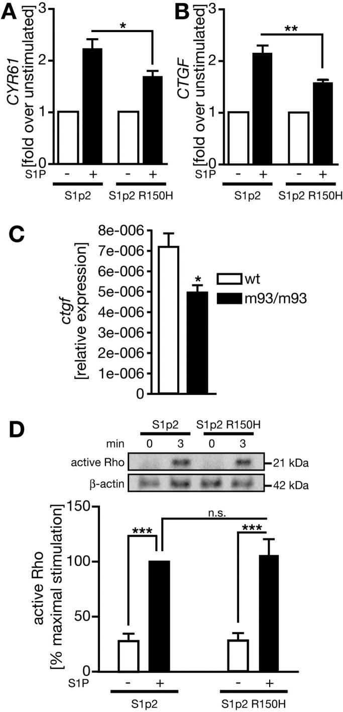 S1p2 R150H displays reduced Hippo signaling despite normal activation of RhoA. (A) The relative level of expression of Yap target gene CYR61 is lower in S1p2 R150H-expressing cells. HEK cells were transfected with the wild-type S1p2 or S1p2 R150H receptor, serum-starved overnight, and stimulated for 2 h with 0.5 μM S1P. Gene expression was analyzed using qPCR. The graph displays data as means ± SEM ( n = 4). p = 0.0201 (one-tailed Student's t test). (B) Relative expression of Yap target gene CTGF in HEK cells treated and analyzed as described for panel A. The graph shows means ± SEM ( n = 4). p = 0.0048 (one-tailed Student's t test). (C) Bar graph depicting the expression of ctgf normalized to eukaryotic elongation factor 1A1 ( eef1a1 ) in 17–20 ss zebrafish embryos. ctgf was significantly reduced in embryos homozygous for the mil m93 mutation. Data are shown as means ± SEM ( n = 4). p = 0.0106 (one-tailed Student's t test). (D) RhoA activation assay upon stimulation with 1 μM S1P. HEK cells were transfected with either receptor variant. Twenty-four hours post-transfection, cells were serum-starved for an additional 42 h before they were stimulated and processed for the RhoA activation assay. Representative blots of four independent experiments are shown. The bar graph displays RhoA signals normalized to β-actin as means ± SEM. Three asterisks indicate a p value of