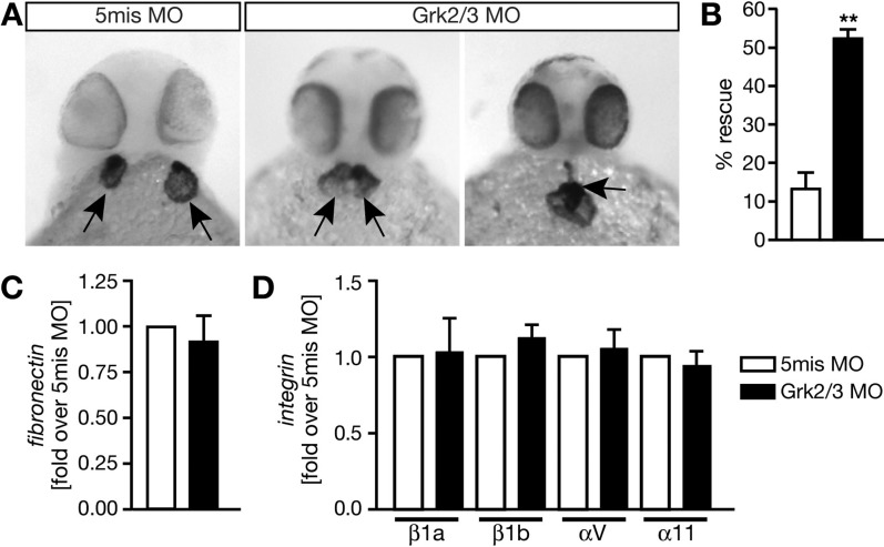 Loss of Grk2/3 ameliorates cardia bifida in miles apart zebrafish. (A) MO-mediated knockdown of Grk2/3 produces miles apart hearts, which are very close to being or have partially fused. Arrows indicate hearts, which were stained for cardiac myosin light chain 2 ( cmlc2 ). The scale bar is 100 μm. (B) Quantitative analysis of Grk2/3 knockdown experiments. Hearts, which were either fused or spatially very close, were counted as rescue. The bar graph displays means ± SEM and summarizes three independent experiments. p = 0.0013 (two-tailed Student's t test). (C) Knockdown of Grk2/3 does not alter fibronectin mRNA levels. qPCR of wild-type embryos shows no difference between control and knockdown conditions. n = 3. p = 0.6142 (two-tailed Student's t test). (D) Knockdown of Grk2/3 does not change the expression of integrin subunits, which serve as receptors for fibronectin. Integrin levels were measured in wild-type embryos injected with either 5mis MO or Grk2/3 MO using qPCR. n = 3–8. p = 0. 0.8931 ( itgb1a ), p = 0.0879 ( itgb1b ), p = 0.6668 ( itgav ), and p = 0.5415 ( itga11 ) (one-tailed Student's t test). In panels B–D, the white bar always indicates injection with 5mis MO whereas the black bar illustrates Grk2/3 MO injections.