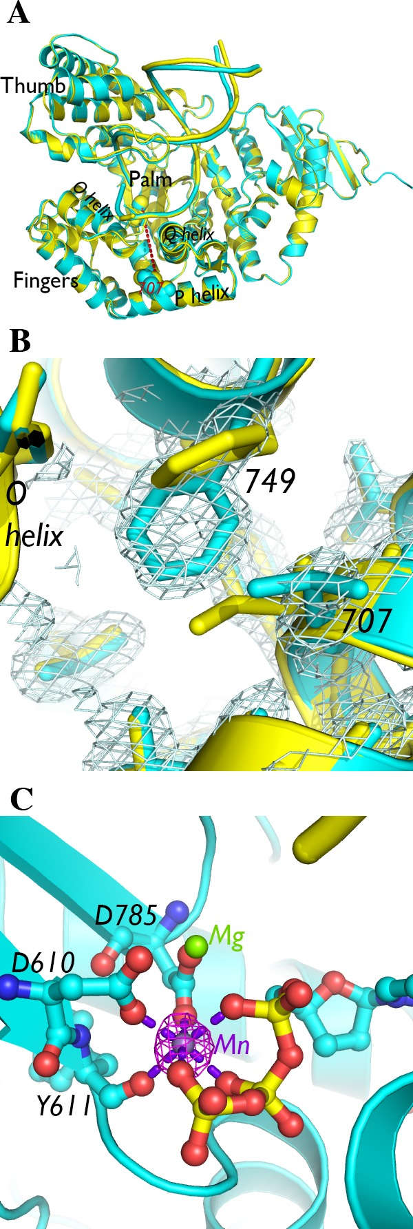 Crystal structure of I707L KlenTaq1–DNA–dNTP ternary complex. (A) The crystal structure of the I707L mutant ternary complex (cyan) superimposed on the wild-type KlenTaq1 ternary complex (3KTQ; yellow). Residue 707 is connected to an active site divalent cation with a red dashed line corresponding to ∼24 Å long. (B) The 2 F o – F c map of the mutant ternary complex near the residue 707 mutation is shown at 1.0σ. (C) The active site, consisting of conserved aspartic acids and a ddCTP, contains two metal ions, one of which is associated with strong anomalous difference density (displayed at 4.0σ in magenta) around a divalent cation site. The manganese(II) atom is connected to nearby oxygen atoms with purple dashed lines corresponding to ∼2.1 Å long. The interatomic distances between the magnesium(II) atom and surrounding oxygen atoms are also ∼2.1 Å.