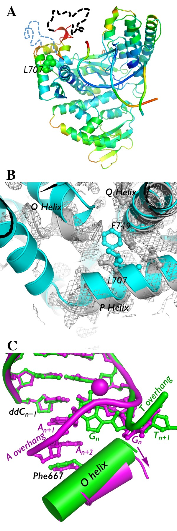 Crystal structure of I707L KlenTaq1–DNA binary complex. (A) The crystal structure of the I707L mutant binary complex is colored by B-factor (ranging from 30 (blue) to 100 (red)). Portions of the fingers subdomain that could not be modeled are denoted by dashed lines (black, residues 637–660; blue, residues 673–699). (B) The fingers subdomain was more difficult to model in the binary complex (gray) compared to the ternary complex (cyan). Gray mesh, 2 F o – F c map of binary complex at 1.0σ. (C) Conformation of the DNA (colored ball and sticks) and O helix near the active site of I707L KlenTaq1 binary complex containing an AAA overhang (magenta) vs a TTT overhang (green). The DNA backbone is traced with a thick tube. The shift in the O helix angle is shown with an arrow. Nucleotides are numbered relative to the nucleotide to be copied ( n ). Manganese(II) ion bound to DNA is shown as a magenta ball.