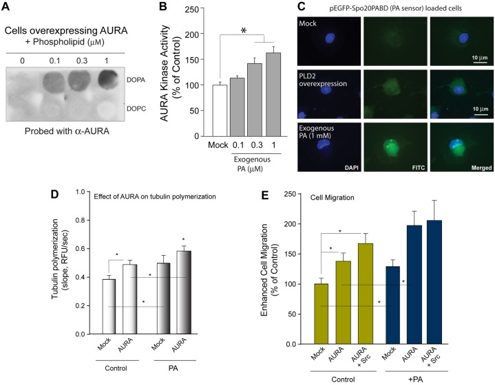 Phosphatidic acid binds to and activates AURA and positively affects tubulin polymerization. (A) Protein–lipid overlay assays using 1,2-dioleoyl-sn-glycero-3-phosphocholine (DOPA) and lysates from cells overexpressing AURA. DOPC was used as a negative control. (B) Positive effect of increasing concentrations of phosphatidic acid (PA) on catalytic activity of recombinant purified AURA. Experiments were performed in triplicate and are expressed as the mean±s.e.m. percentage of control. * P