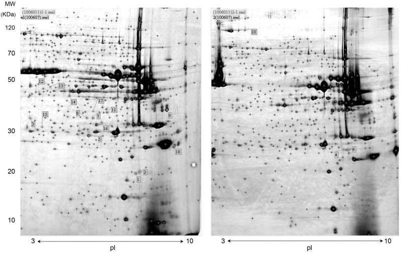 """Representative 2-DE images of longissimus muscle samples. 2-DE was per-formed using a pH range of 3–10 in the first dimension and <t>SDS-PAGE</t> (12%) in the second. Control sample is shown at the left and sample from 1% arginine supplementation is shown at the right. Detected protein spots are marked with red """"+"""" and protein abundances that differ significantly between control and supplemented pigs are assigned numbers, corresponding to Table 7 . MW, Molecular weight; PI, Isoelectric point."""