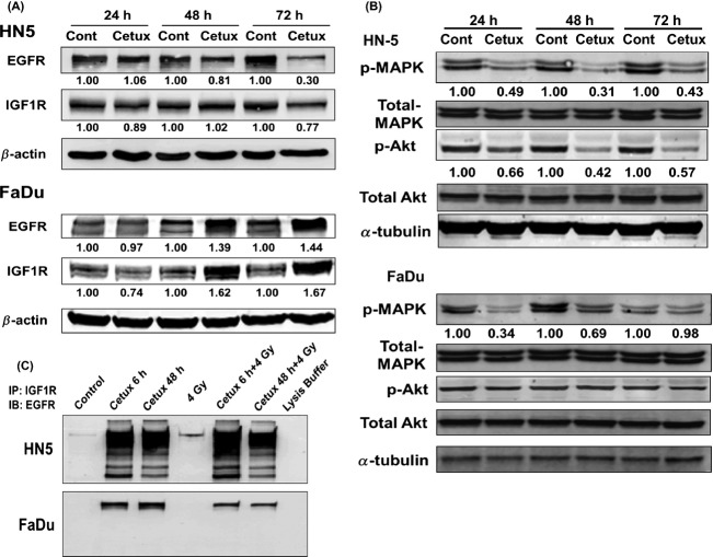 (A) Effect of cetuximab on EGFR and IGF-1R expression levels. Cells were exposed to cetuximab and subjected to Western blot analysis. Numbers shown below protein bands are relative intensities with levels in untreated control cells as 1.0. Western blots shown are representative of two independent experiments. (B) Effect of cetuximab on p-MAPK and p-Akt expression levels. Cells were exposed to cetuximab and subjected to Western blot analysis. Numbers shown below protein bands are relative intensities with levels in untreated control cells as 1.0. Western blots shown are representative of two independent experiments. (C) Effect of cetuximab, radiation, or both on dimerization of EGFR and IGF1R. Cells were exposed to either cetuximab and/or 4 Gy and collected 10 min after irradiation. Whole cell lysates were subjected to immunoprecipitation (IP) with IGF-1R antibody and immunoblotted (IB) with EGFR antibody. Shown are representative Western blots of two independent experiments. Cont: Untreated control; cetux: cetuximab. p-MAPK: phosphorylated form of MAPK; p-AKT: phosphorylated form of Akt.