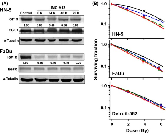 (A) Effect of IMC-A12 on <t>IGF-1R</t> and <t>EGFR</t> expression levels. Cells were exposed to IMC-A12and subjected to Western blot analysis. Numbers shown below protein bands are relative intensities with levels in untreated control cells as 1.0. Western blots shown are representative of two independent experiments. (B). Effect of cetuximab and IMC-A12 on radiosensitivity of HNSCC lines in culture. Cells were treated with cetuximab and/or IMC-A12 and exposed to radiation as described under Methods. Survival curves were constructed with normalized values for the cytotoxicity induced by cetuximab/IMC-A12. Data shown are means ± SE from three independent experiments. RT only: black solid line; cetuximab + RT: green dash line; IMC-A12 + RT: blue dash line; cetuximab + IMC-A12 + RT: Red solid line.
