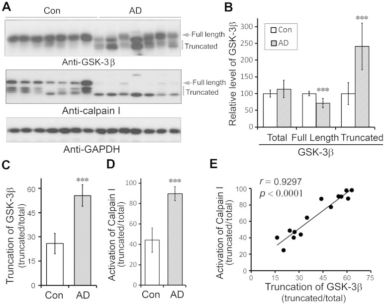 Activation of calpain I and truncation of GSK-3β are elevated in AD brain and truncation of GSK-3β is correlated with the activation of calpain I in human brain. (A) Western blots of frontal cortical homogenates from AD and control cases show an increase in truncation of GSK-3β and calpain I in AD. Arrow indicates the full-length GSK-3β or calpain I and vertical bars indicate the truncated forms of these proteins. (B) The levels of full length and truncated GSK-3β were decreased and increased, respectively, in AD brains. Blots from panel A were quantitated by densitometry and the relative levels of total, full-length and truncated GSK-3β are presented as mean ± S.D. (n = 3). ***, p