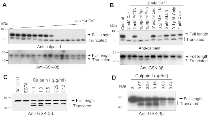 <t>GSK-3β</t> is truncated selectively by calcium-mediated truncation/activation of calpain I. (A) Western blots show that truncation of GSK-3β coincides with truncation/activation of calpain I in a calcium-dependent manner in human brain extracts. Normal human brain extract was incubated at 30°C for 10 min in the presence of 2.0 mM EDTA and various concentrations (0.00–2.14 mM) of CaCl 2 . Then the incubated extracts were analyzed by Western blots developed with specific antibodies to calpain I or GSK-3β. (B) Calcium-activated truncations of calpain I and GSK-3β are selectively inhibited by calpain inhibitors. Normal human brain extract was incubated at 30°C for 10 min in the presence of 2.0 mM each of EDTA and CaCl 2 plus various selective protease inhibitors, as indicated above the blots, followed by Western blots probed with anti-calpain I or anti-GSK-3β to detect the proteolysis. Apr, aprotinin (a serine protease inhibitor); Pep, pepstatin (an aspartic protease inhibitor); Leu, leupeptin (cysteine and serine protease inhibitor that also inhibits calpain); ALLN, N-acetyl-Leu-Leu-Nle-CHO (a cysteine protease inhibitor that also inhibits calpain); Calp, calpastatin peptide (a specific calpain inhibitor). (C, D) Western blots show calcium concentration-dependent truncation of recombinant GSK-3β from bacteria (C) or from mammalian cells (D) by calpain I. Recombinant GSK-3β was incubated with various concentration of calpain I in the presence of CaCl 2 for 10 min at 30°C and the reaction products were subjected to Western blots.