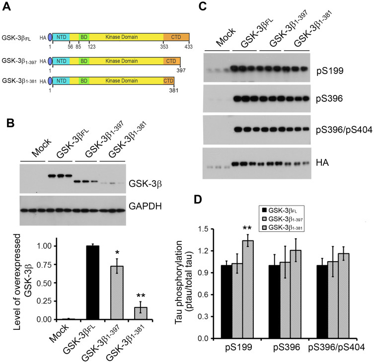 Truncation of GSK-3β at Ser381 enhances its tau kinase activity. (A) Schematics of GSK-3β full legth and C-terminally truncated at Ile 397 or Ser 381. (B) Western blots of full length and truncated GSK-3β overexpressed in HEK-293FT cells. pCI/HA-GSK-3β, pCI/HA-GSK-3β 1-397 or pCI/HA-GSK-3β 1-381 was co-transfected with pCI/tau 441 into HEK-293FT cells. The levels of GSK-3β and actin were analyzed by Western blots, quantified by densitometry and normalized by GAPDH. The data are presented as mean ± S.D. (n = 3). **, p