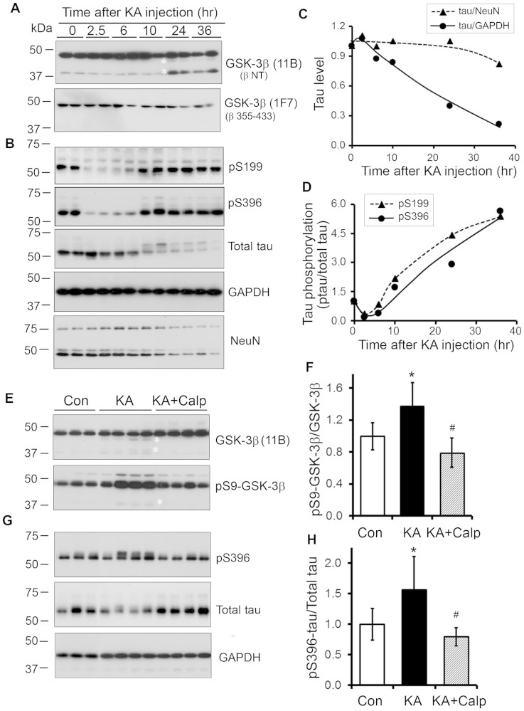 Kainic acid (KA)-induced excitotoxicity causes truncation of GSK-3β and an increase in tau phosphorylation in mouse brain. (A, B) Western blots show C-terminal truncation of GSK-3β (A) and hyperphosphorylation of tau (B) in brains of mice intraperitoneally injected with KA. Homogenates of forebrains of mice sacrificed at the indicated time points after single intraperitoneal KA injection were analyzed by Western blots developed with GSK-3β antibodies indicated at right side of each blot. (C, D) KA-induced excitotoxicity increased phosphorylation of tau at Ser 199 and Ser 396. Forebrain homogenates of KA-injected mice were analyzed by Western blots (B) developed with anti-pSer199, PHF-1 (pS396), anti-total-tau, anti-NeuN and anti-GAPDH. The levels of total tau (C) were normalized with NeuN or GAPDH, and Phosphorylation of tau at Ser 199 and Ser 396 (D) were normalized with total tau level and plotted against the time after KA-injection. The data are presented as mean of two mice. (E, F) Inhibition of calpain prevents kainic acid (KA)-induced truncation and phosphorylation of GSK-3β in mouse brains. Calpain inhibitor calpeptin was intracerebroventricularly injected 3 hr before KA intraperitoneal injection. Homogenates of forebrains of mice sacrificed after 12 hr KA injection were analyzed by Western blots developed with GSK-3β and quantified densitometrically. The level of pSer9-GSK-3β (normalized with GSK-3β) (F) is shown as mean ± S.D. (n = 4–6). (G, H) Inhibition of calpain suppressed tau phosphorylation at Ser396 caused by KA even though inhibitory phosphorylation of GSK-3β at Ser 9 was decreased. Total tau and phosphorylated tau at Ser 396 in above samples were analyzed by Western blots (G) and quantified as described above. The level of phosphorylated tau at Ser 396 normalized with total tau (H) is shown as mean ± S.D. (n = 4–6); *, KA Via Con and p