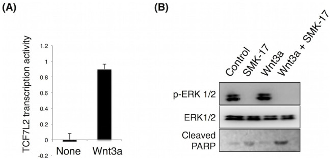 Activation of Wnt/β-catenin signaling by Wnt3a induced apoptosis in A375 cells. (A) A375 cells were co-transfected with the TOPFlash and Renilla luciferase plasmids. Transfected cells were treated with 50 ng/mL Wnt3a for 24 h, and their luciferase activity was measured. Wnt signaling activity in terms of TCF7L2 transcription was monitored by using the TOPFlash/continuous Renilla luciferase assay. The ratio of the firefly luciferase intensity of TOPFlash to that of Renilla luciferase was used as an indicator of TCF7L2 transcriptional activity. (B) Cells were treated with either DMSO or with 10 μM SMK-17, with or without 50 ng/mL recombinant Wnt3a, for 48 h. Cell lysates were probed for ERK1/2, phospho-ERK1/2 (p-ERK1/2), and cleaved PARP via western blot. Cleaved PARP was observed after combination treatment with SMK-17 and Wnt3a.