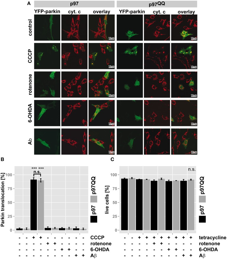 p97 is involved in mitochondrial maintenance at damage levels below the thresholds for mitophagy and cell death . (A) SH-SY5Y cells stably expressing p97 or dominant-negative p97QQ under control of the Tet-On promoter were transfected with an expression construct for YFP-tagged Parkin, induced with tetracycline for 2 h or left uninduced and treated with 5 μM rotenone, 75 μM 6 OHDA, or 50 μM Aβ for an additional 6 h. Cells were fixed, stained for the mitochondrial marker cytochrome c (cyt. c) and Parkin translocation from the cytosol to mitochondria was visually analyzed using fluorescence microscopy. Shown are representative images of three independent experiments. (B) Shown is a quantification of Parkin translocation from the cytosol to mitochondria from (A) . (C) Cells treated as in (A) were stained with the cell impermeable dye 4′,6-diamidino-2-phenylindole (DAPI) and the percentage of dead cells was determined by flow cytometry. Statistical analysis was performed using pair-wise t -tests with p -value adjustment according to Holm. Statistical significance is marked with *** p