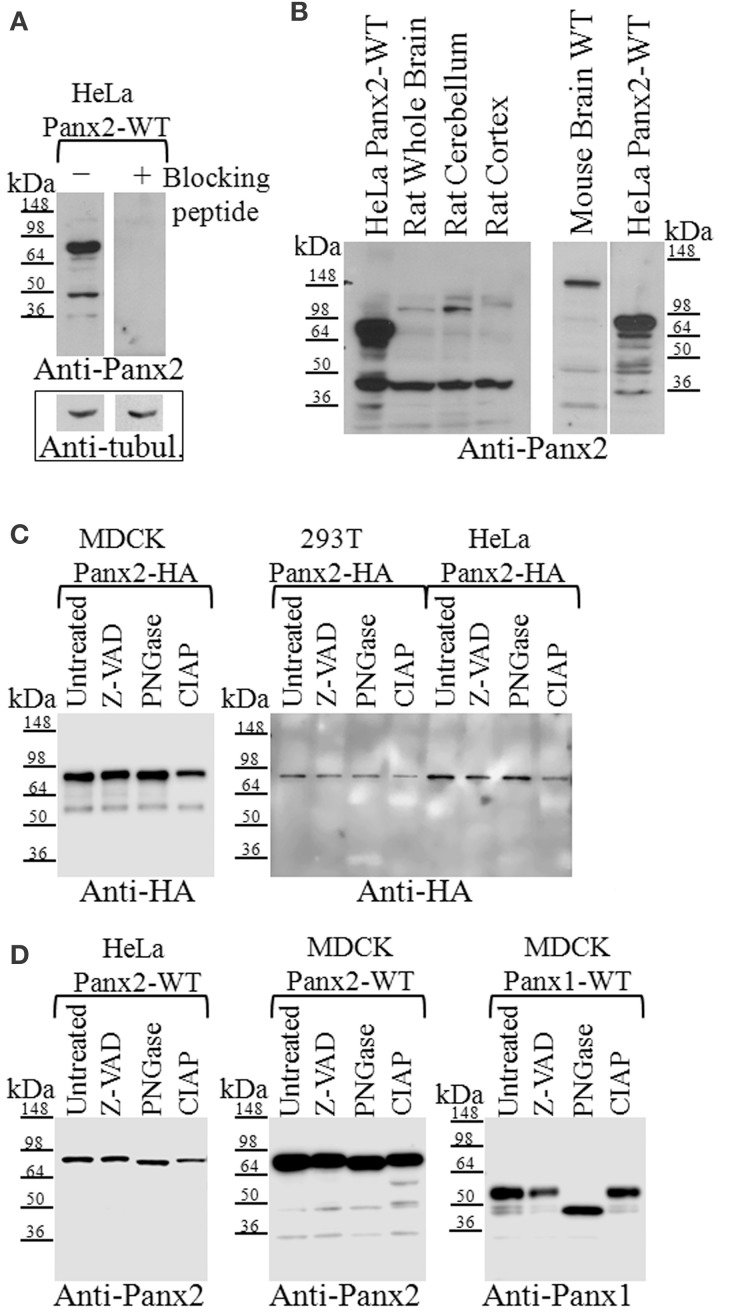 Western blot analysis of Panx2 in tissue and post-translational modifications in tissue culture cells. (A) Incubation of the Panx2 antibody with the immunizing peptide prior to western blotting eliminated the labeling of untagged Panx2-WT proteins stably expressed in HeLa cells. Western blots for alpha-tubulin levels shown below the Panx2 immunoblots served as loading controls for these lysates. (B) The expected mass of Panx2 monomers based on their amino acid sequence is ~74 kDa and western blot analysis of HeLa cell lysates stably expressing untagged rat Panx2 showed a major band at about this molecular mass (left and right hand lanes). Some lower bands were also observed at about 45 kDa. In tissue lysates from rat and mouse brains, a weaker ~74 kDa band was observed as well as few faster migrating bands that may represent caspase cleaved Panx2 species. (C) Cell lysates from three cell lines, MDCK, HEK 293T, and HeLa, each stably expressing HA-tagged Panx2, were treated with either Z-VAD-OMe-FMK (Z-VAD) to inhibit caspase-dependent cleavage, PNGase to reduce glycosylation, or CIAP for protein dephosphorylation. We did not see any significant shift in the bands indicating that at least in these cell types, HA-tagged Panx2 is not highly phosphorylated or glycosylated. (D) However, cell lysates from HeLa, and MDCK, each stably expressing untagged Panx2-WT revealed a slight shift in banding pattern following PNGase treatment. As positive control, lysates from MDCK cells stably expressing untagged Panx1-WT showed significant band shifts after PNGase treatment. Western blots shown here are representative of at least three independent experiments per group.