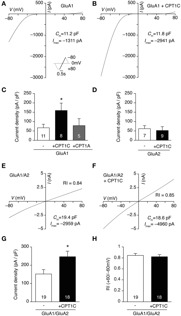 CPT1C specifically increases glutamate-evoked currents of GluA1-containing AMPARs. (A) Whole-cell current-voltage (IV) relationship for a tsA201 cell expressing GluA1 homomeric receptors. The IV plot was obtained by ramping membrane potential from −80 to +80 mV at a rate of 160 mV/ s in the presence of 1 mM glutamate plus 25 μM CTZ to avoid receptor desensitization. 100 μM spermine was added to the pipette solution. Inset represents the voltage protocol used. (B) Same as (A) but for a cell expressing GluA1 plus CPT1C-GFP (CPT1C). (C) Average normalized currents at -80 mV for GluA1 alone or together with CPT1C or CPT1A. GluA1 current density (-pA/pF) was increased by co-expression with CPT1C ( * p