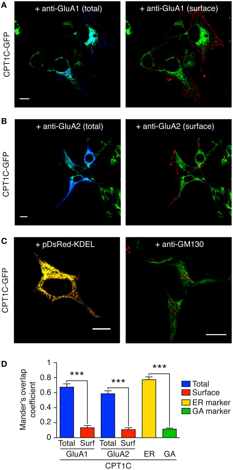 GluA1 and GluA2 co-localize with CPT1C at intracellular compartments but not at the plasma membrane . CPT1C does not co-localize with the Golgi Apparatus marker GM-130. (A) Confocal image showing co-localization of CPT1C-GFP (green) with GluA1 (dark blue signal in left panel) in transfected tsA201 cells. Co-localization signal is displayed as light blue (left panel). There is no co-localization between CPT1C (green) and cell-surface GluA1 (red signal in right panel). Scale bar: 10 μm. (B) Confocal image showing co-localization of CPT1C (green) with GluA2 (dark blue signal in left panel) in transfected tsA201 cells. Co-localization signal is apparent as light blue color (left panel). There is no co-localization between CPT1C (green) and cell-surface GluA2 (red signal in right panel). Scale bar: 10 μm. (C) Co-localization (yellow signal in left panel) of CPT1C-GFP with ER marker (pDsRed-KDEL). Lack of co-localization (absence of yellow signal in right panel) of CPT1C (green) with the Golgi Apparatus marker GM-130 (red) in transfected tsA201 cells. Scale bars: 10 μm. (D) Representation of co-localization values quantified by Manders Overlap Coefficient (MOC; see Methods) expressed as mean ± SEM. MOC values for total GluAs and CPT1C (blue columns) were statistically different from surface GluAs and CPT1C (red columns; *** p