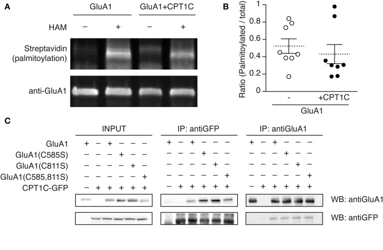 """GluA1 palmitoylation state is not altered by CPT1C and does not affect the interaction with GluA1. (A) Palmitoylation levels of GluA1 alone (GluA1) and together with CPT1C-GFP (GluA1+CPT1C), in transfected tsA201 cells, detected by means of Acyl-Biotin Exchange (ABE). The thiol-biotinylated immunoprecipitates of GluA1 following the ABE assay for both transfected conditions were subjected to SDS-PAGE. Palmitoylation of GluA1 can only be detected in plus-hydroxilamine (+HAM) samples. Minus -HAM samples control non-specific incorporation of biotin. GluA1 palmitoylation levels (top) were detected by Western blotting with streptavidin-HRP (palmitoylation). After stripping the membranes the total amount of immunoprecipitated GluA1 was detected by Western blotting with anti-GluA1-NT antibody (anti-GluA1, bottom). (B) Quantification of palmitoylation levels for GluA1 alone (open circles) or GluA1 plus CPT1C (filled circles) in tsA201 cells. Ratio of palmitoylated GluA1 to total GluA1 for each single experiment is shown together with mean (discontinuous horizontal lines) and SEM (continuous vertical lines) ( p > 0.05; Mann–Whitney U -test; n = 8 for both). (C) Co-IP of the membranous fraction of tsA201 cells co-expressing GluA1 wild type or non-palmitoylable mutants—GluA1(C585S), GluA1(C811S), and GluA1(C585,811S)—together with CPT1C-GFP. The interaction between CPT1C and GluA1 is not dependent on palmitoylation of C585 or C811 residues. As negative controls GluA1 was co-expressed with an empty plasmid expressing GFP alone (first lanes of the boxes) and CPT1C-GFP was co-expressed with an empty pDsRed (second lanes from the boxes). Transfected cells were lysed and membranes were solubilized as described in Figure 1 and methods. An input sample collected prior to immunoprecipitation of these extracts is shown as """"INPUT."""" Inputs and immunoprecipitated samples were separated and Western Blotted as described in Figure 1 . Immunoprecipitations were replicated three times."""