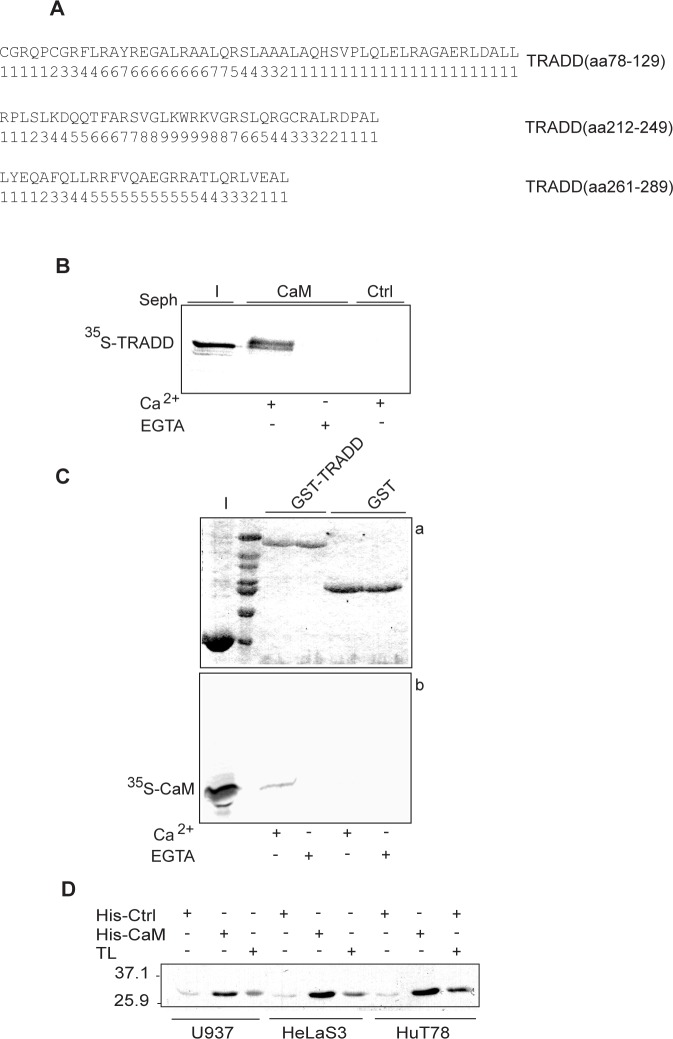Ca 2+ -dependent binding of CaM to TRADD. A : CaM target database analysis. Amino acid sequences of the predicted CaM binding sites in human TRADD are shown along with the corresponding probability scores. B : autoradiography of CaM pull-down assay. (I) shows input of 35 S-TRADD (∼ 33 kDa) incubated with CaM sepharose (CaM) or control sepharose (Ctrl) beads in Ca 2+ or EGTA binding buffer. C : autoradiography of pull-down assay of 35 S-CaM with GST or GST-TRADD. Panel a) shows a 12% SDS-PAGE stained with coomassie and panel b) the corresponding autoradiogram for 35 S-CaM. D : western blot of His-CaM pull-down assays. His-CaM or His-Ctrl (control, cyclophilin) bound to Ni-NTA agarose beads were incubated with cell lysates, as indicated. TL indicates total cell lysates. Positions of the molecular weight standards are indicated. The data shown are representative of at least three independent experiments.