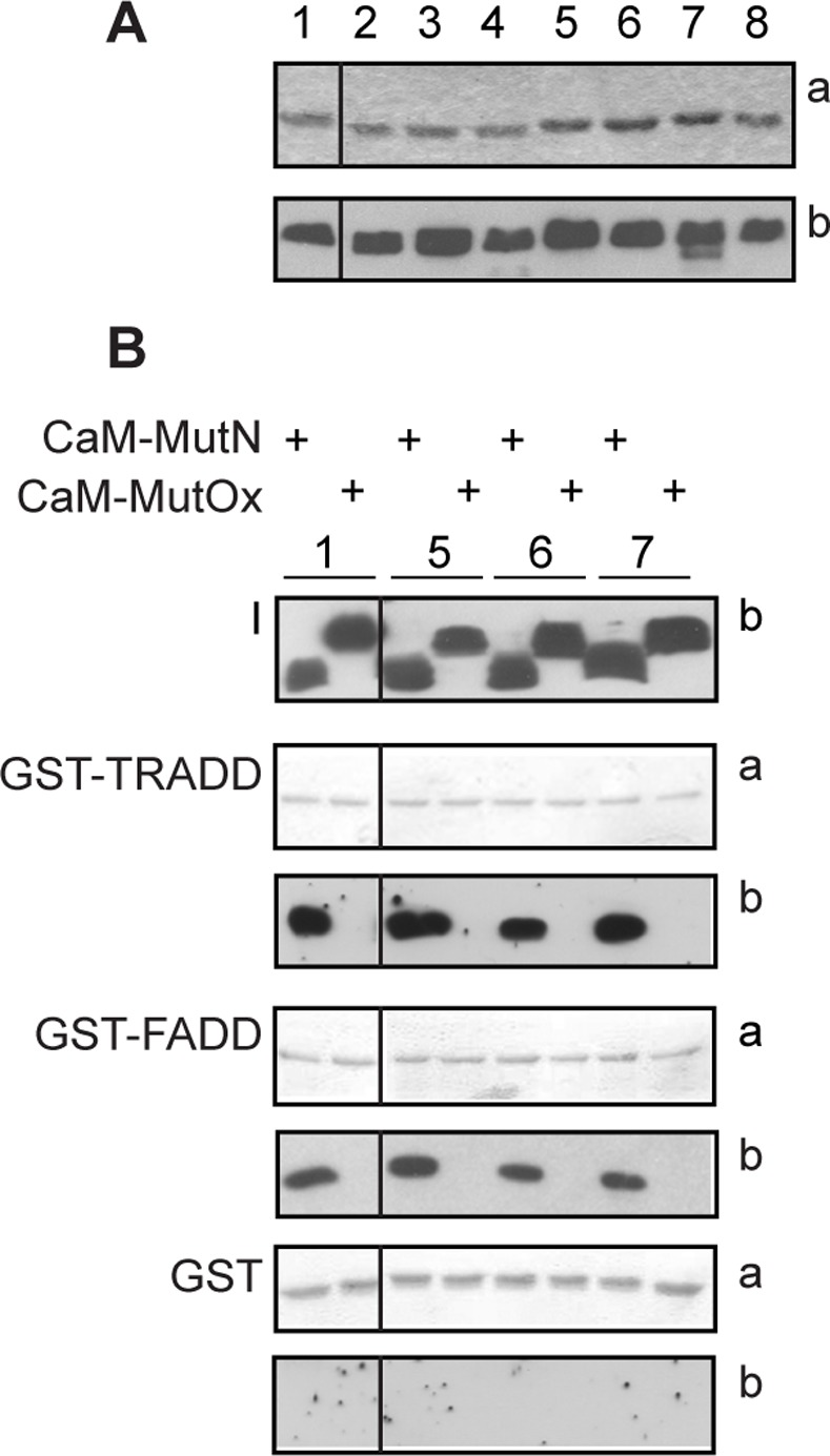 Effect of Met-to-Leu substitutions in CaM on FADD and TRADD binding. A : CaM mutants and SDS-PAGE analysis. Coomassie stained gel (a) and western blot analysis (b) of CaM mutants, identified by a numerical code detailed in Table 1 . B : GST pull-down assays. Native (N) or oxidized (Ox) CaM mutants were incubated with the indicated GST proteins bound to glutathione-sepharose beads. 50% of the eluted proteins were analyzed by 12% SDS-PAGE and blotted to nitrocellulose stained with ponceau (a) and processed for western blot (b). I indicates the input of recombinant CaM proteins (250 ng). CaM mutants are identified by a numerical code as in Table 1 . A and B : the black vertical lines in all panels indicate that non-adjacent lanes from the same gel or blots are shown. The data shown are representative of three independent experiments.