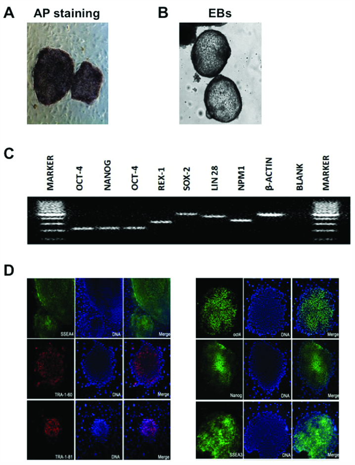 Pluripotentiality of human parthenogenetic embryonic stem cell line-2 (hPES-2). (A) Alkaline phosphatase (AP) staining, (B) embryoid bodies (EBs), (C) pluripotency gene expression, including octamer-binding transcription factor 4 (OCT-4), REX1 [also referred to as zinc-finger protein-42 (Zfp42)], SRY (sex determining region Y)-box 2 (SOX2), <t>Nanog</t> <t>homeobox</t> (NANOG), Lin-28 homolog A (LIN28) and nucleophosmin (β-actin was used as a control), amplified by real-time PCR, and (D) pluripotency immunofluorescent markers, including stage-specific embryonic antigen (SSEA)3, SSEA4, tumor-rejection antigen (TRA)-1-60, TRA-1-81, OCT-4 and NANOG.