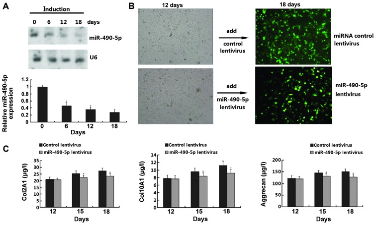 Role of miR-490-5p in the chondrogenic differentiation of human adipose-derived stem cells (hADSCs). (A) The expression of miR-490-5p was detected by northern blot analysis following the induction of chondrogenic differentiation on days 0, 6, 12 and 18. (B) Cell morphology was determined following transfection with miR-490-5p letivirus on days 12 and 18. (C) Comparison of the concentration of collagen, type II, alpha 1 (Col2A1), collagen, type X, alpha 1 (Col10A1) and aggrecan in hADSCs subjected to chondrogenic differentiation on days 12, 15 and 18 by ELISA.